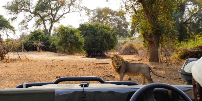 game drive lower zambezi zambia lion on road