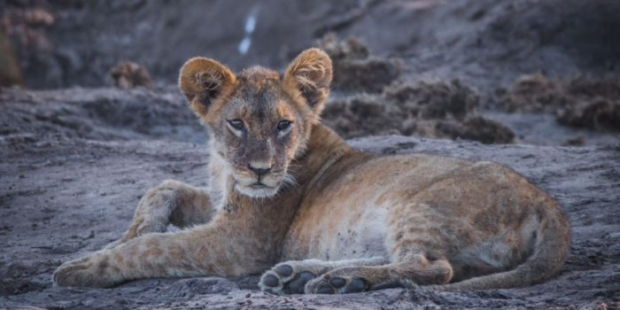 barnes family blog botswana lion cub at water