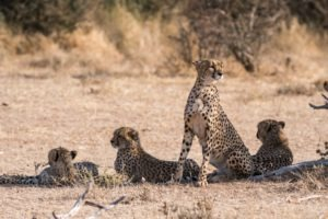cheetah book tour blog