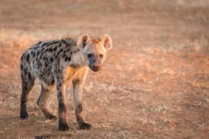 hyena book tour blog