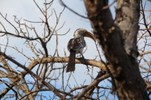 red crested hornbill karongwe