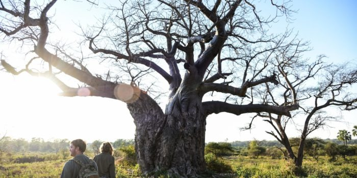 Makuleke-Baobab-walking