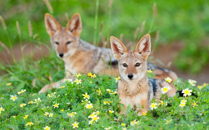 Ecotraining Black Backed Jackals