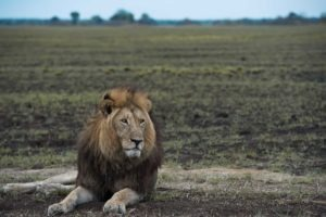 busanga kafue large male lion