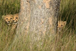 busanga plains kafue cheetah cubs hiding