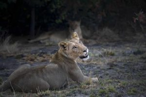 busanga plains kafue lion
