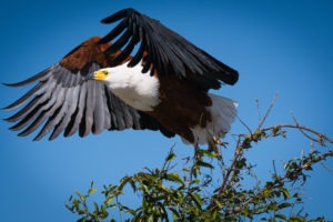 chobe fish eagle flying