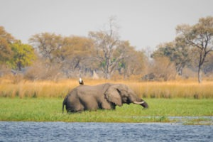 moremi fish eagle riding elephant botswana