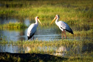 moremi yellow billed storks