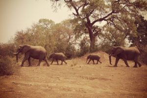 northern tuli botswana cycling safari herd of elephants