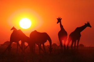 okavango delta bush skills training giraffe sunset