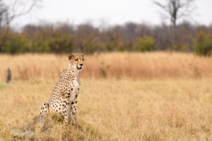 cheetah-savuti-game-drive