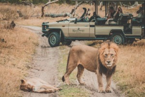 Botswana okavango delta ker and donwey kanana camp lions in road