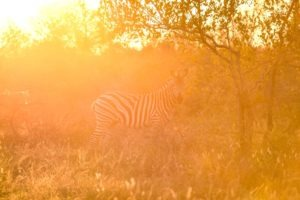 Zebra-Kruger-Sunset