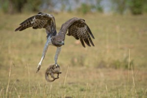 Makuleke Kruger National Park Eagle Catch