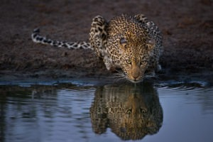 Makuleke Kruger National Park Safari Leopard Drinking