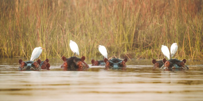 Malawai hippo birds on head