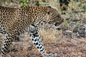 Northen Tuli Mashatu Botswana Big Five Leopard