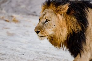 Northern Botswana Chobe Big Five Lion