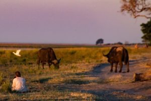 Northern Botswana Chobe Safari Big Five Buffalo
