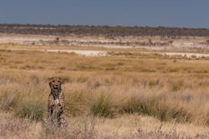 Northern Namibia Etosha cheetah wildlife safari