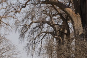 camp chitake mana pools trees