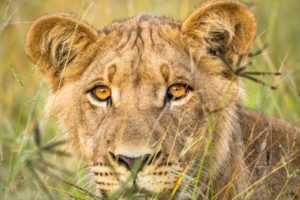 dinaka young lion portrait