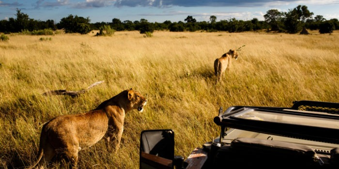 golden africa safaris lions gamedrive