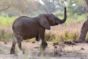 lower zambezi tusk and mane elephant