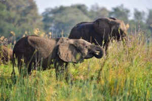 lower zambezi tusk and mane elephants grazing