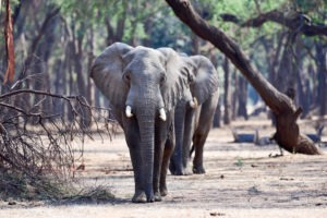 lower zambezi tusk and mane elephants walking