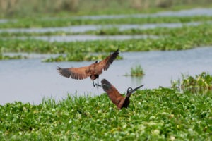 lower zambezi tusk and mane jacana
