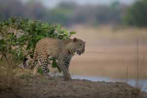nkozi camp south luangwa leopard