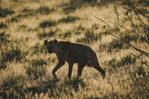 northen namibia erindi jason and emilie wildlife photography hyena