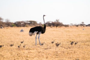 nxai pan ostritch chicks