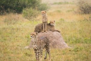 nxai pan three cheetahs
