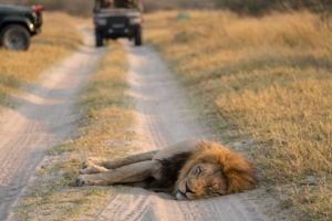 savuti lion in the road