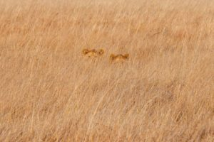 west zambia busanga kafue lions hidden safari