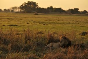 west zambia kafue Lion with Mukambi Plains Camp on background
