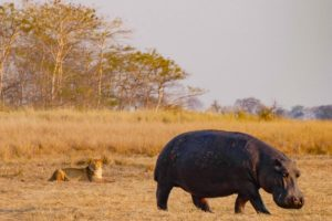 west zambia kafue lion and hippo unique sighting photography