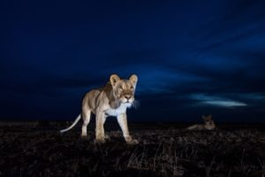 west zambia liuwa plains lion close up wildlife photography