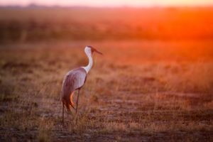 west zambia liuwa plains wildlife photography birding safari