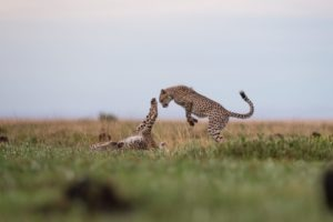 west zambia liuwa plains wildlife photography cheetah playing