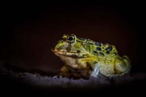 west zambia liuwa plains wildlife photography frog