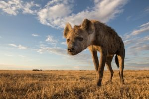 west zambia liuwa plains wildlife photography hyena close