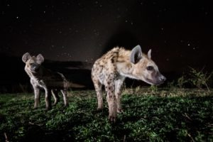west zambia liuwa plains wildlife photography hyena close up