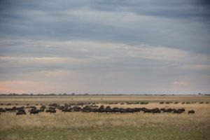 west zambia liuwa plains wildlife photography large migration