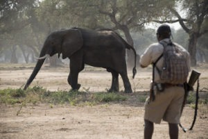 zambezi expeditions mana pools guide elephant walking