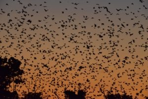 zambia kasanka bat migration sunset