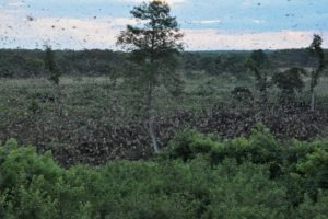zambia kasanka bat migration views
